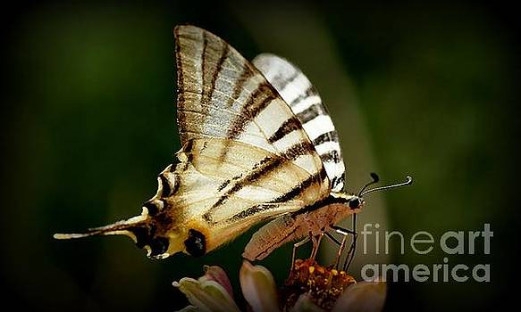 Butterfly by Sylvie Leandre