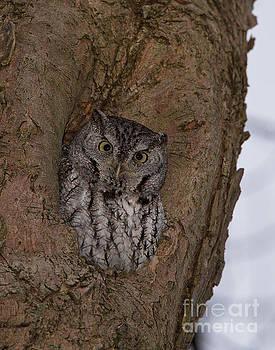 Joshua Clark - Eastern Screech Owl