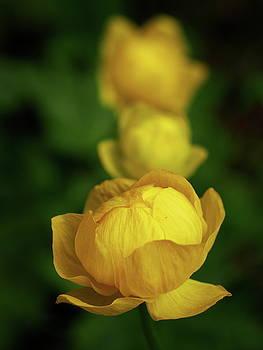 Globeflower by Jouko Lehto