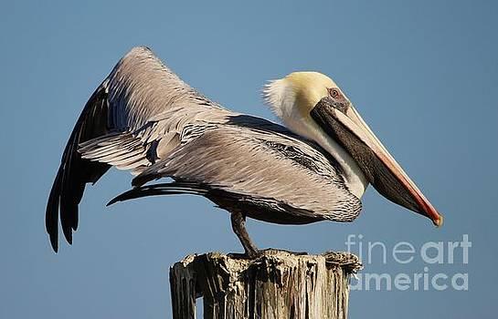 Paulette Thomas - Gorgeous Pelican