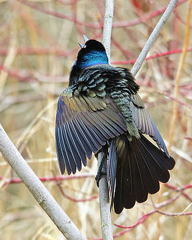 Christine Kapler - Grackle on a Spring day
