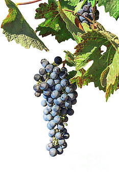 Grapes on vine by Benny Marty