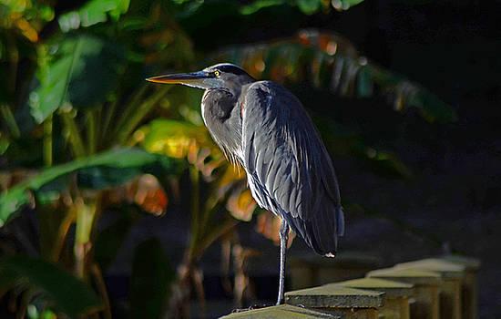 Great Blue Heron by Bob O'Dean