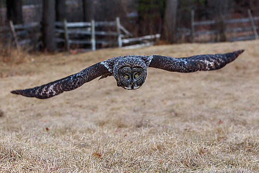 Great Gray Owl by Henry Gray