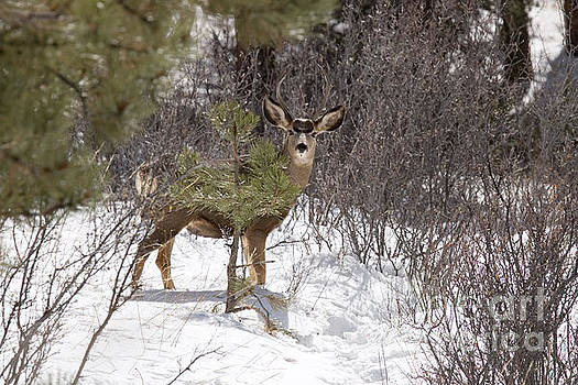 Steve Krull - Herd of Mule Deer in Deep Snow
