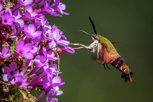Hummingbird Clearwing Moth  by Gary E Snyder