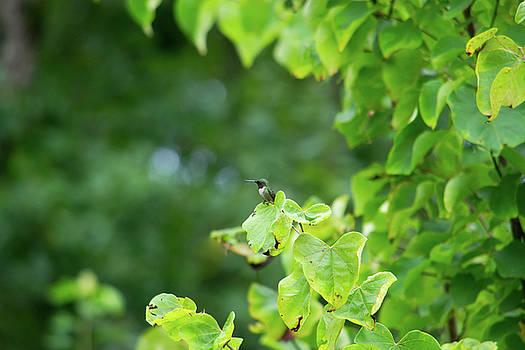 Mike Shaw - Hummingbird