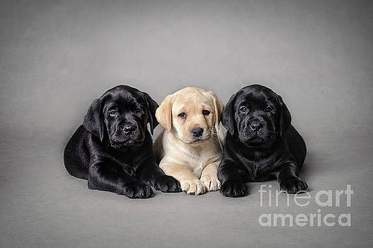 Labrador retriever puppies by Waldek Dabrowski