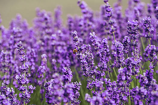 Lavender flower in the garden,park,backyard,meadow blossom in th by Jingjits Photography