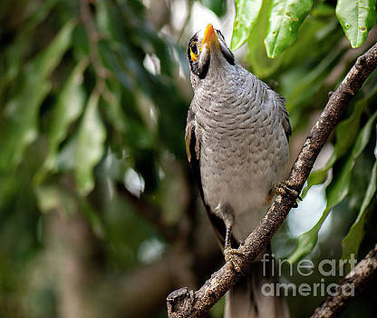 Noisy miner bird by itself by Rob D