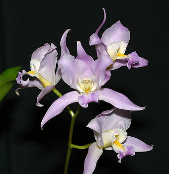 Orchid by Wally  Franiel