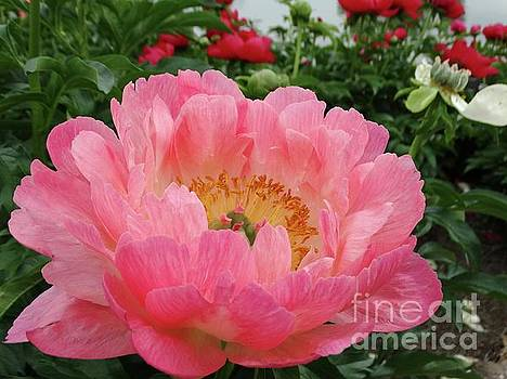 Peony in Pink by Rebecca Overton