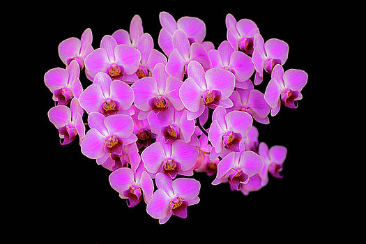 Phalaenopsisi Orchid by Tom Brownold