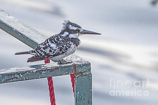 Pravine Chester - Pied Kingfisher