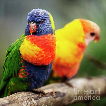 Rainbow lorikeet outside during the day. by Rob D