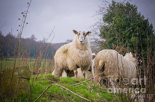 Mariusz Talarek - Sheep