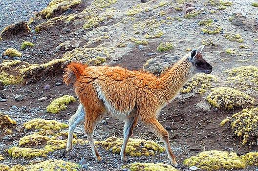 Eduardo Huelin - South American Llamas