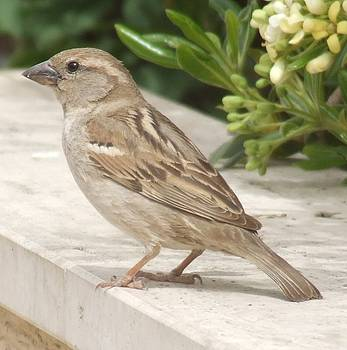 Sparrow by Bill Vernon