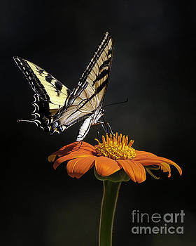 Swallow Tail by Bill Baer