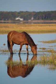 Wild Horse of Assateague Island by Stephanie McDowell