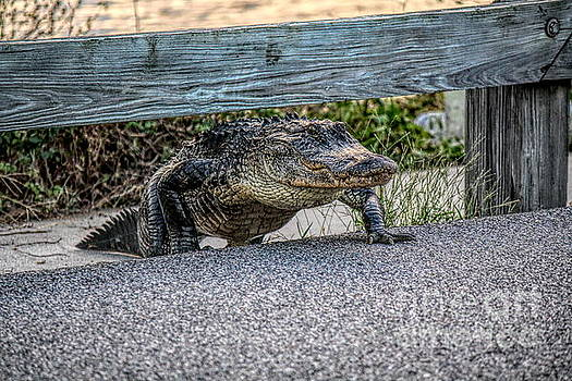 Paulette Thomas - Alligator