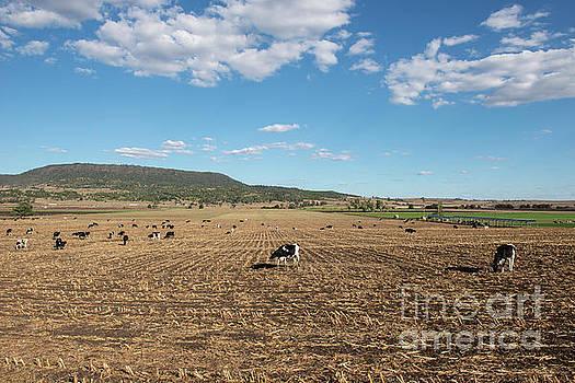 Australian cows by Rob D
