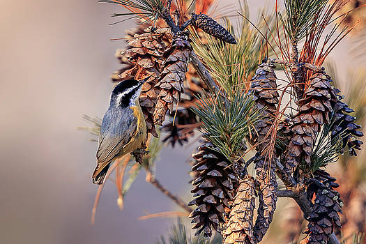 Black-capped Chickadee by Peter Lakomy