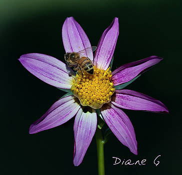 Dahlia by Diane Giurco
