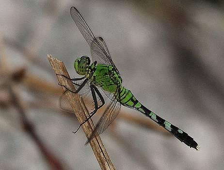Paulette Thomas - Dragonfly