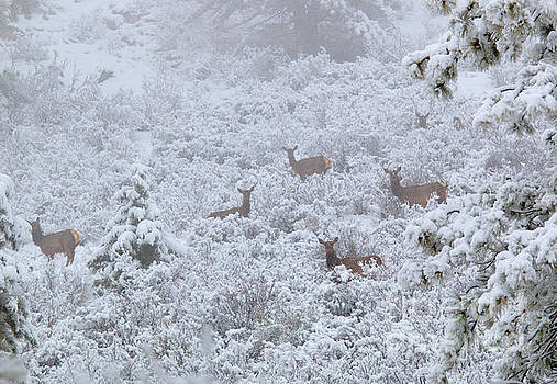 Steve Krull - Elk in Deep Snow in the Pike National Forest