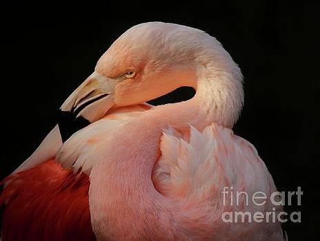 Paulette Thomas - Flamingo Feathers