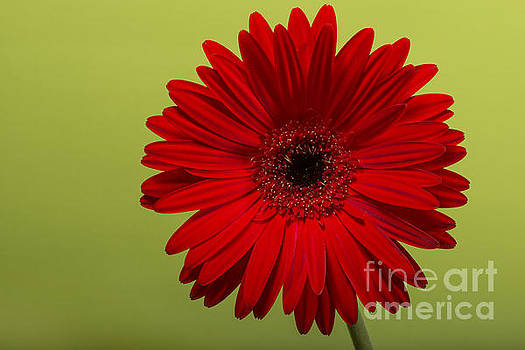 Gerbera flower blossom. by Deyan Georgiev