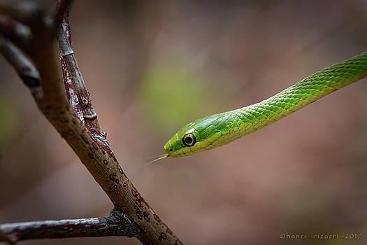 Green Snake by Henri Irizarri