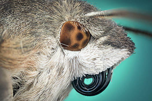 Head of moth macro by Libor Vrska