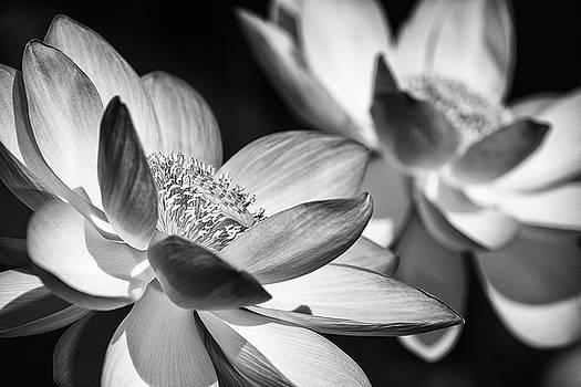 Lotus Black and White Art Series by Jeff Abrahamson