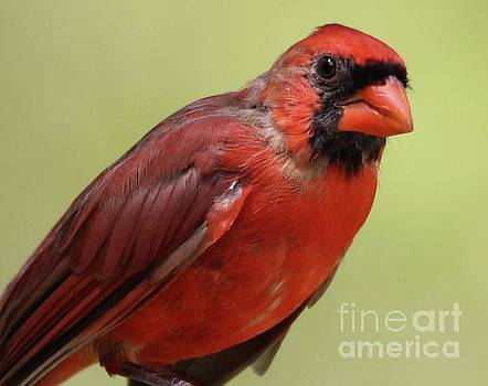 Paulette Thomas - Male Cardinal