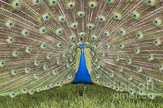 Jill Lang - Peacock