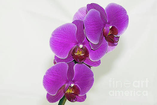 Purple Orchid by Elvira Ladocki