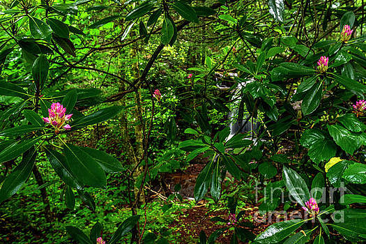 Rhododendron and Waterfall by Thomas R Fletcher