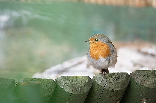 Robin by Chris Day
