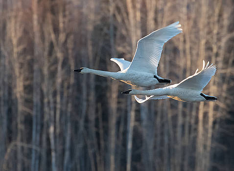 Dee Carpenter - Trumpeter Swan Pair