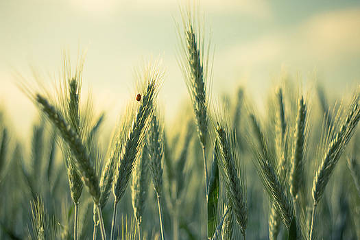 Wheat by Dorothy Binder