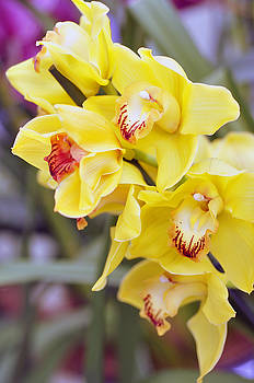 LS Photography - Orchids