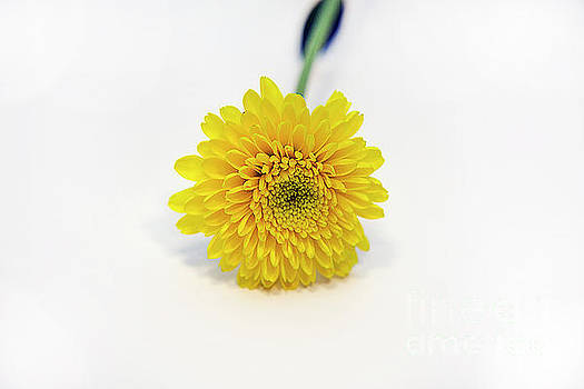 Yellow Flower by Elvira Ladocki
