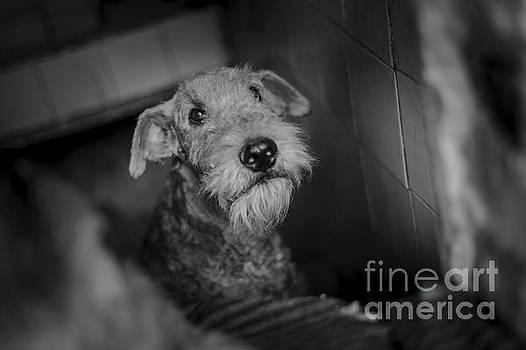 Airedale Terrier by Stefan Kamenov