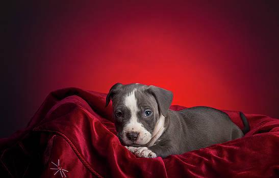 American Pitbull Puppy by Peter Lakomy
