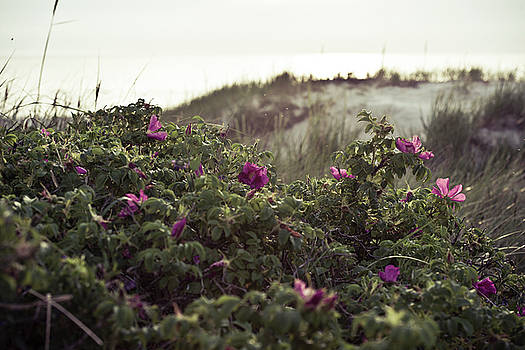 Rose Bush And Dunes by Michael Maximillian Hermansen