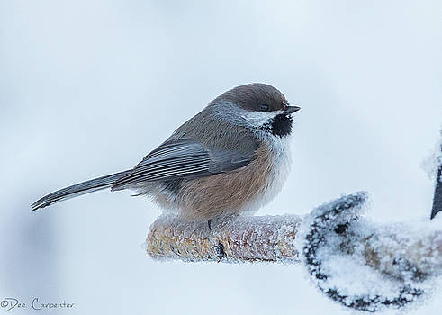Boreal Chickadee by Dee Carpenter