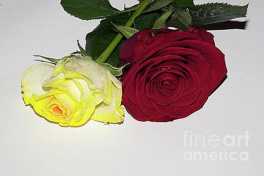 Colorful Roses by Elvira Ladocki