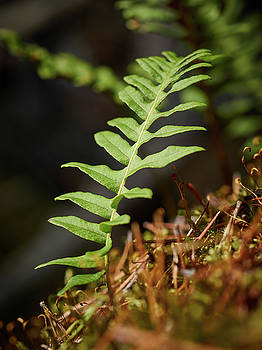 Common Polypody by Jouko Lehto